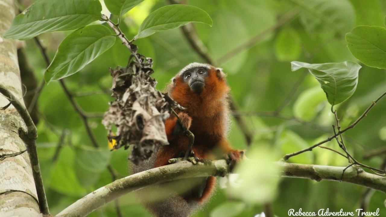 Cuyabeno Monkey