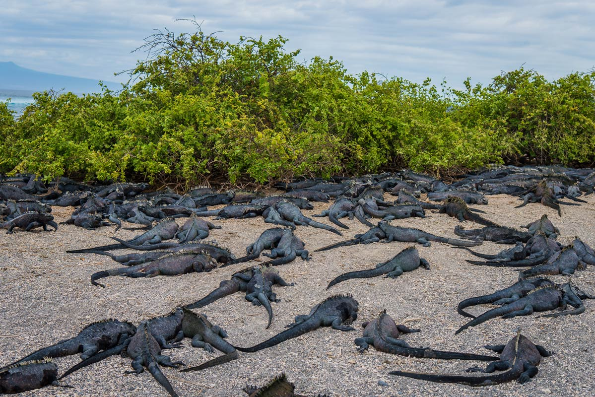 Marine Iguana - Galapagos Islands