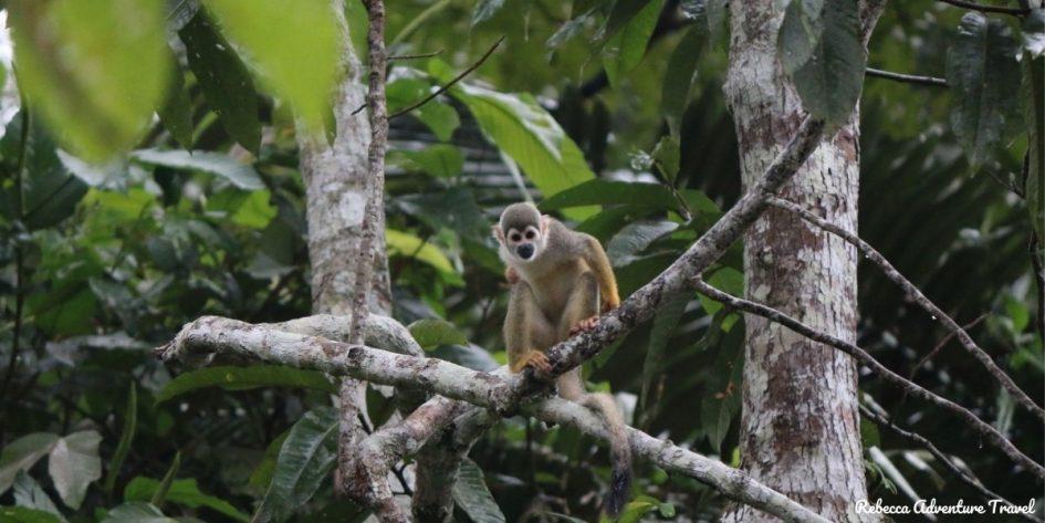 Ecuador tours - Amazon monkey