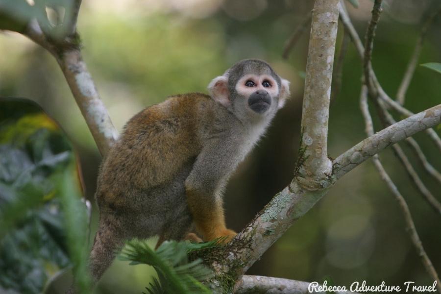 Yasuni monkey
