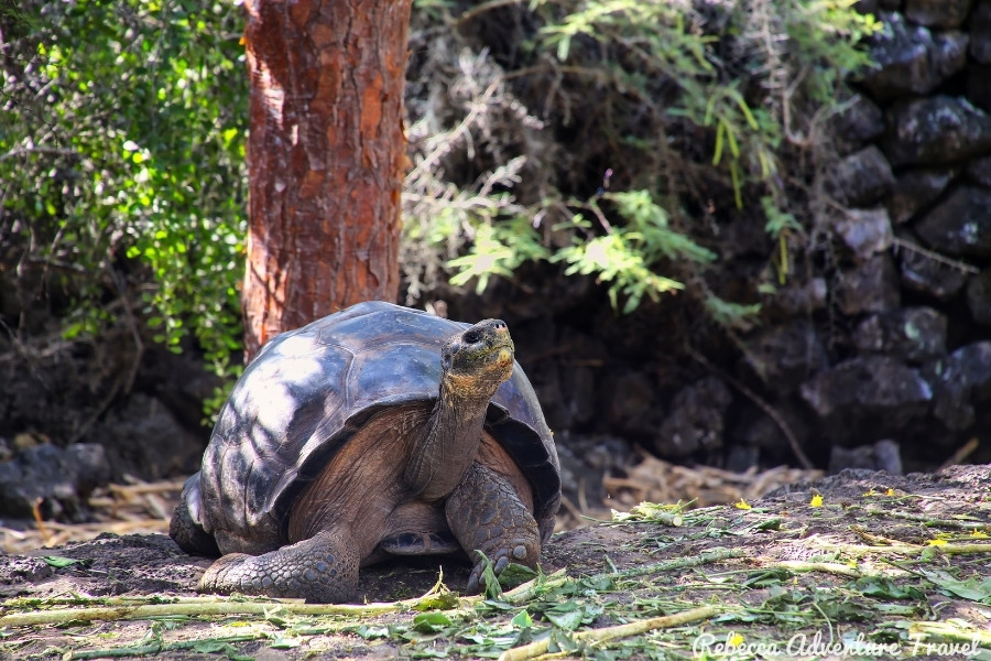 Giant Tortoise at Charles Darwin Station